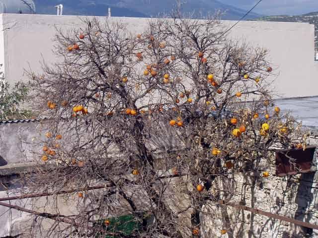 Zdjęcia: Okolice Paphos, Drzewo wyschniete ale owoce sa :), CYPR