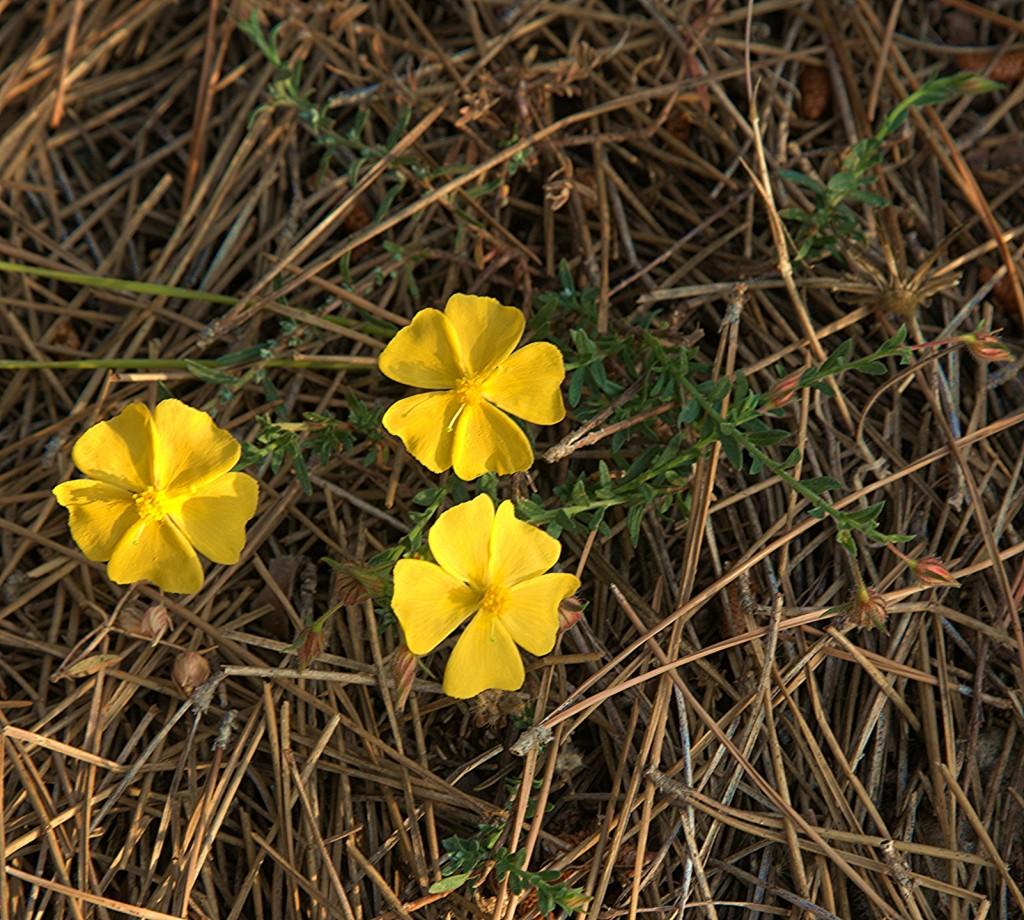 Zdjęcia: Półwysep Akamas, Polis Chrysochous, Trzy kwiatki, CYPR