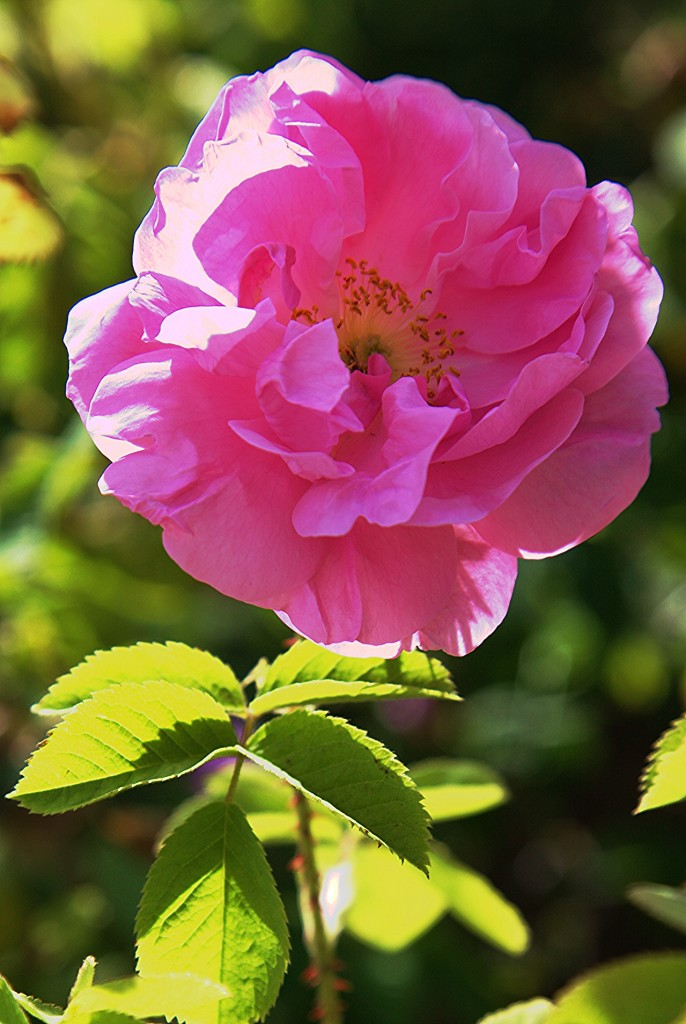 Zdjęcia: Agros, Pitsilia, Róża z gór, CYPR