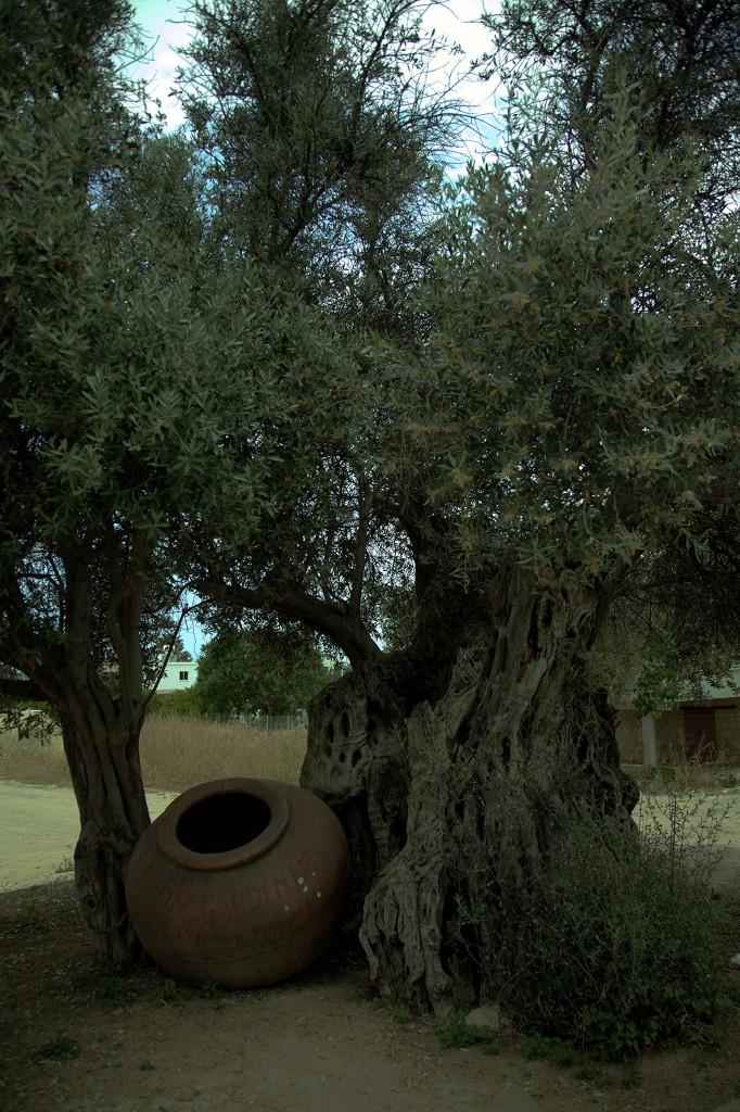 Zdjęcia: Okolice Muzeum Archeologiczne, Polis Chrysochous, 700 letnie drzewo oliwne, CYPR
