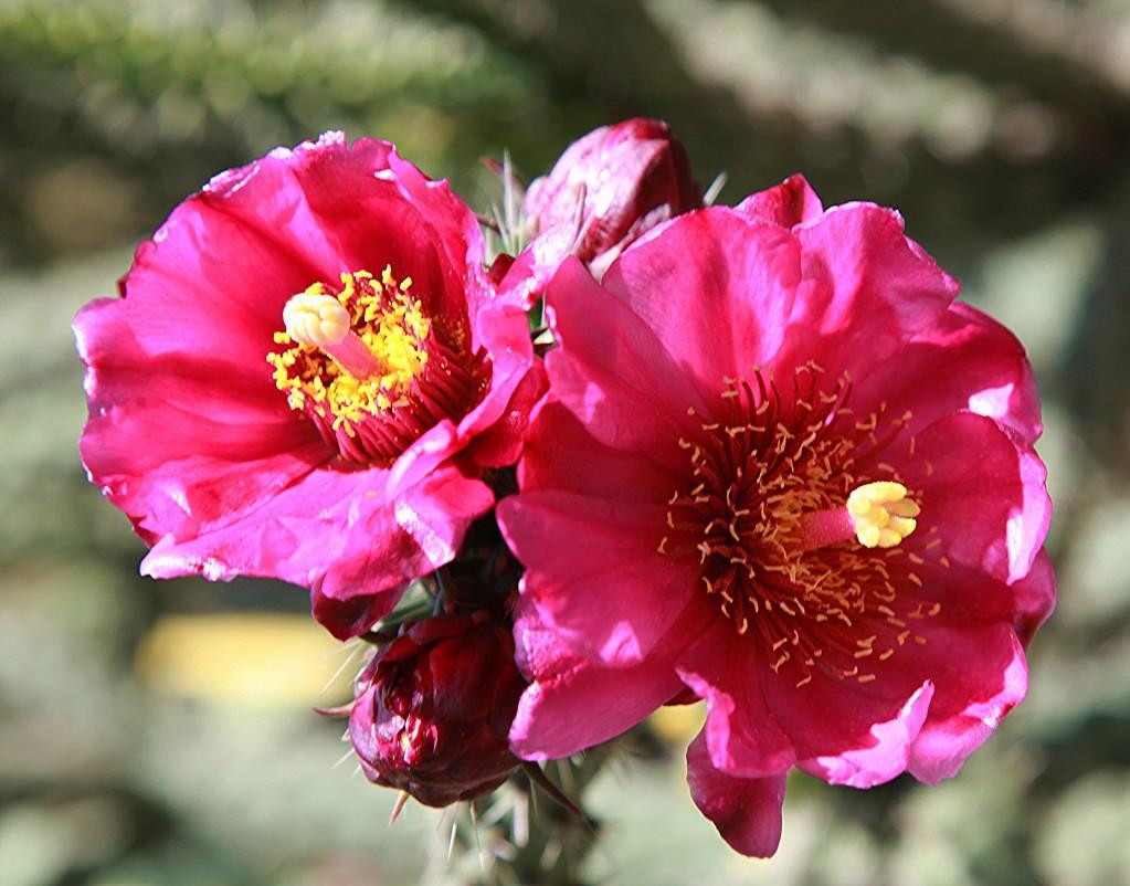 Zdjęcia: Park miejski, Nikozja, Kwiat kaktusa, CYPR