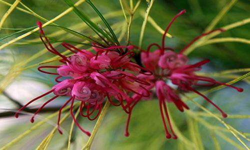 Zdjęcie CYPR / Nikozja / Park miejski / Kwiat jak pająk