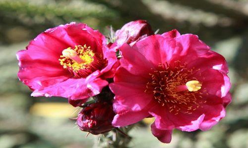 Zdjęcie CYPR / Nikozja / Park miejski / Kwiat kaktusa