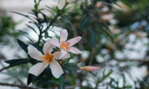 Zdjęcie CYPR / Nikozja / Nikozja / oleander