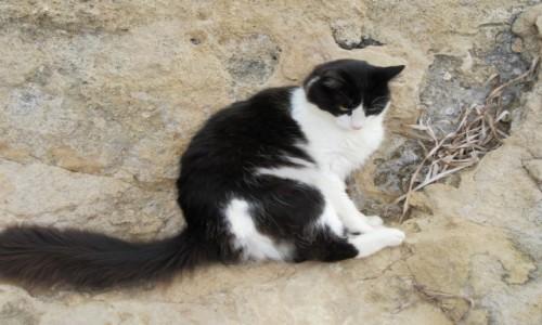 Zdjęcie CYPR / Paphos / Paphos / Kot cypryjski