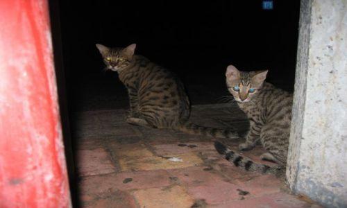 Zdjecie CYPR / Pafos / Pafos / Cypryjskie kotki