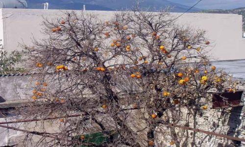 Zdjecie CYPR / brak / Okolice Paphos / Drzewo wyschniete ale owoce sa :)