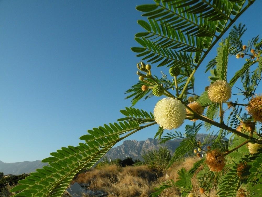 Zdjęcia: Girne, Kyrenia, Napotkana, prawdziwa mimoza, CYPR PÓŁNOCNY
