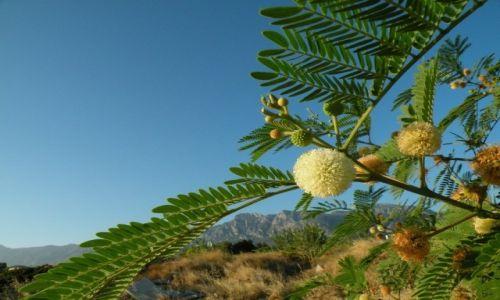 CYPR PÓŁNOCNY / Kyrenia / Girne / Napotkana, prawdziwa mimoza