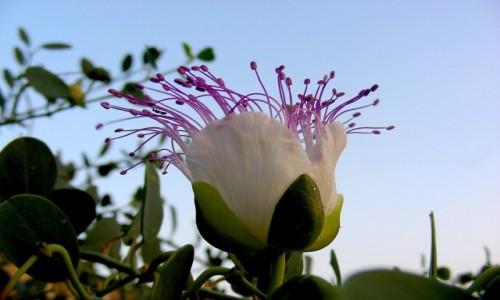 CYPR PÓŁNOCNY / Nikozja / miasto / Kwitnący krzew