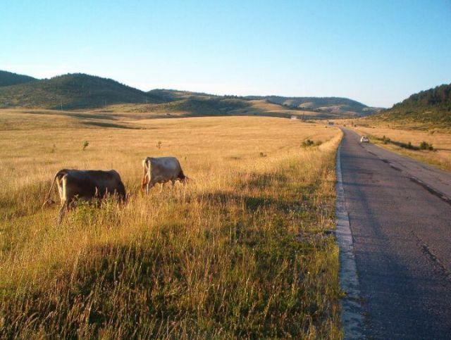 Zdj�cia: Zbli�amy si� do kanionu Tara, Kr�wki., CZARNOG�RA