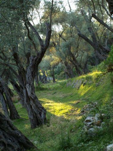 Zdjęcia: Valdanos, Okolice Ulcnij, Stary gaj oliwny, CZARNOGÓRA