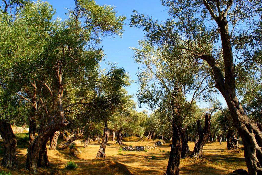 Zdjęcia: Środkowa Czarnogóra, Gdzieś, gdzie wybrzeże we wzgórza się zamienia..., Gaj oliwny, CZARNOGÓRA