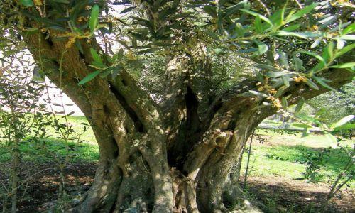 Zdjecie CZARNOGÓRA / - / Ulcinj / Stare drzewo oliwne