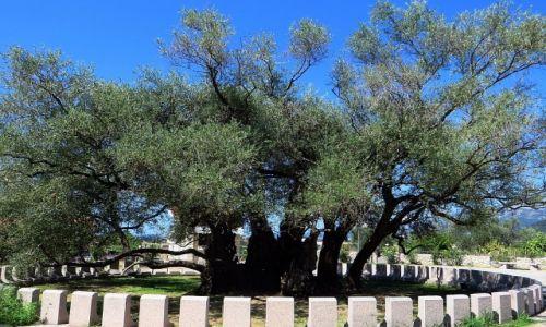 Zdjęcie CZARNOGÓRA / południowa Czarnogóra / okolice Starego Baru / dwu tysiącletnia oliwka