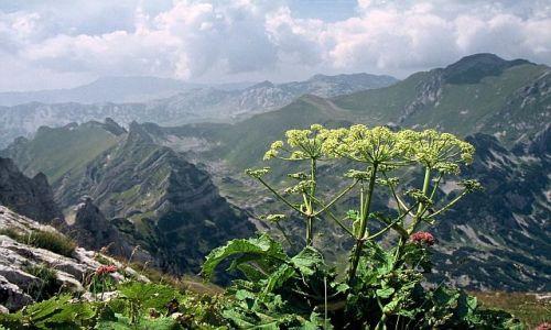 Zdjęcie CZARNOGÓRA / Góry Dynarskie / Durmitor / Roślinka na wysokościach