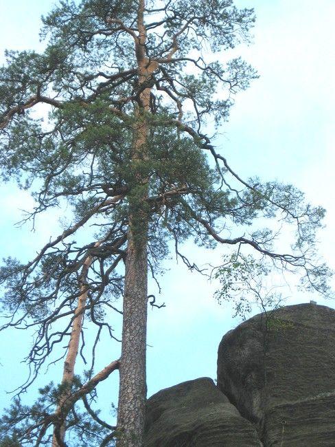 Zdjęcia: Adrspach, Hradecki Kraj, samotna sosna na szczycie, CZECHY