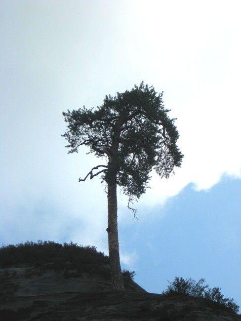 Zdjęcia: Adrspach, kralowo-hradecki kraj, drzewo, CZECHY