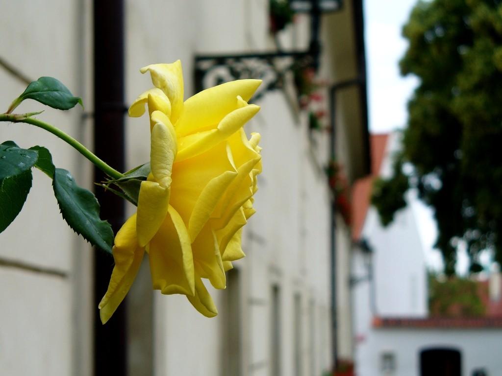 Zdjęcia: Praga, Kraj środkowo czeski, Róża na Hradcanach, CZECHY