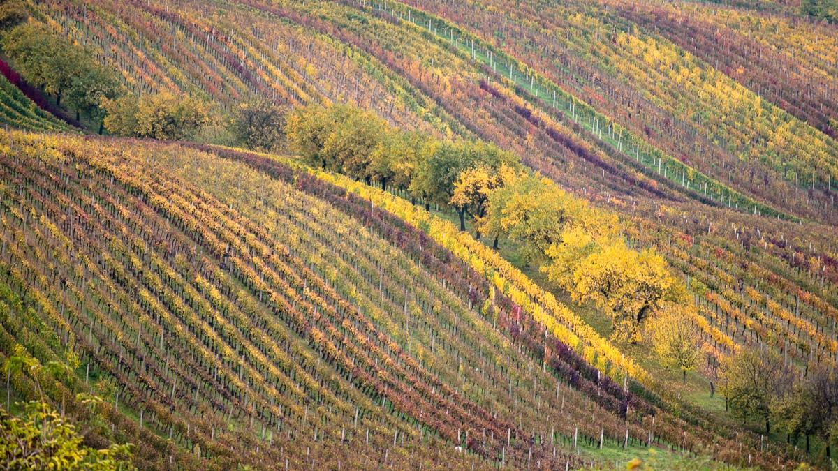 Zdjęcia: Sardice, Południowe Morawy, ostatnie winobranie..., CZECHY