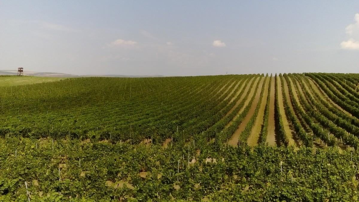 Zdjęcia: Morawy Południowe, Morawy Południowe, Winnice w Morawach Południowych, CZECHY