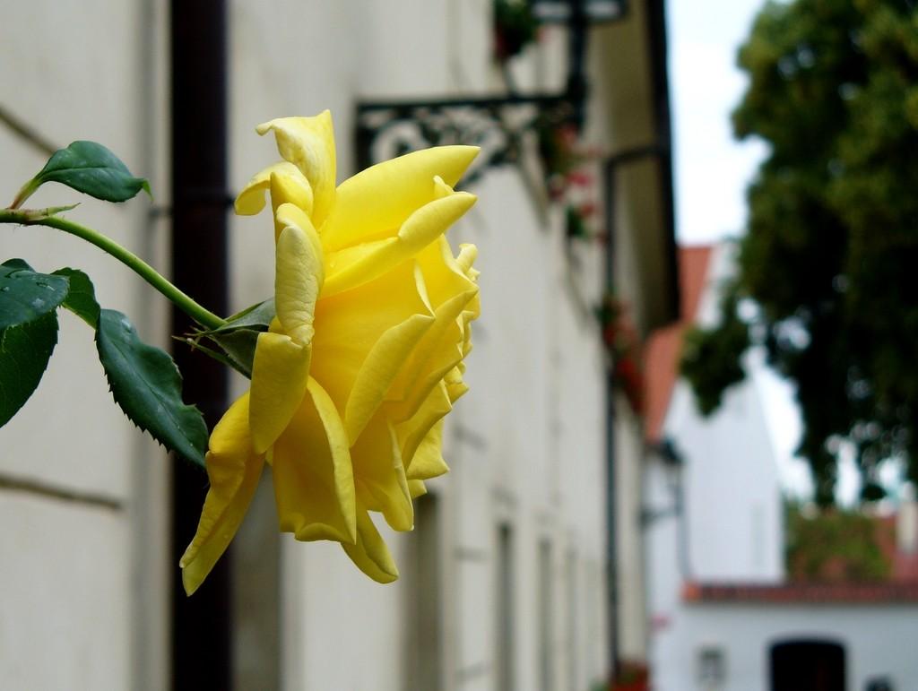 Zdjęcia: Praga, środkowoczeski, Róża na ścianie budynku 302 Hradcany, CZECHY