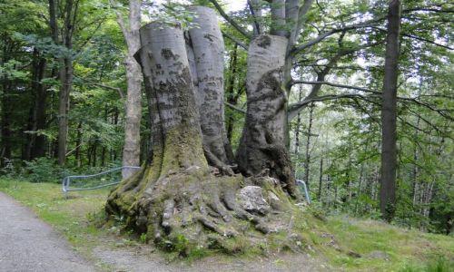 Zdjecie CZECHY / Góry Opawskie  / Park Preissnitza / Były sobie buki