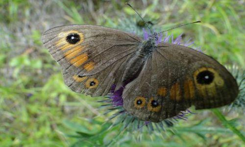 Zdjecie CZECHY / Góry Opawskie / Rejviz / Czeski motylek