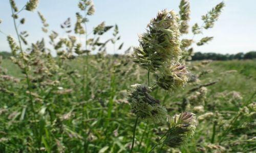 Zdjęcie CZECHY / Jeseniki / Piseczna / Kwitnąca trawa