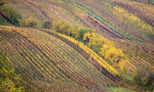 Zdjecie CZECHY / Południowe Morawy / Sardice / ostatnie winobranie...