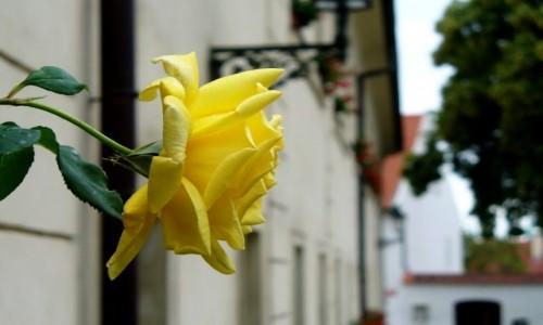 Zdjecie CZECHY / środkowoczeski / Praga / Róża na ścianie budynku 302 Hradcany