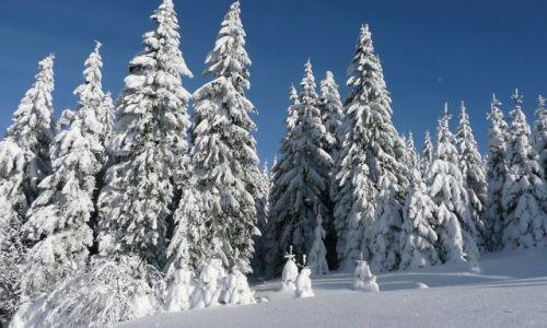 Zdjecie CZECHY / Sudety / Pec pod Snezkou / Zimowe świerki