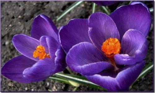 CZECHY / brak / Biskupia Kopa / Konkurs /wiosna z krokusami