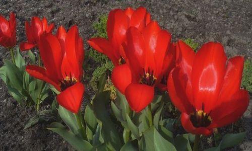 Zdjęcie CZECHY / brak / Liberec / Konkurs/wiosna tulipanowa