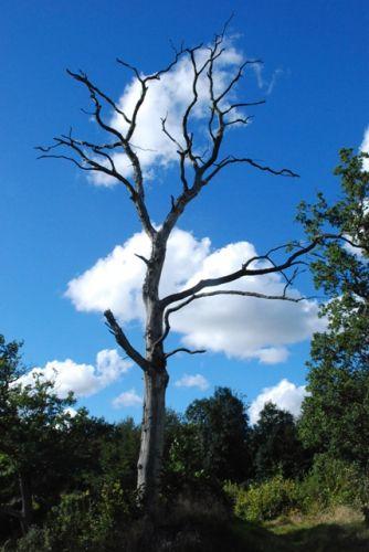 Zdjęcia: Bornholm , Bornholm, tree2, DANIA