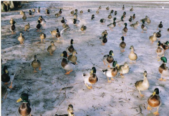 Zdjęcia: slagelse, zelandia, kaczki, DANIA