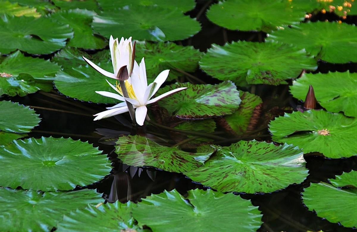Zdjęcia: Ogród roślin tropikalnych, Aarhus, Lilie wodne, DANIA