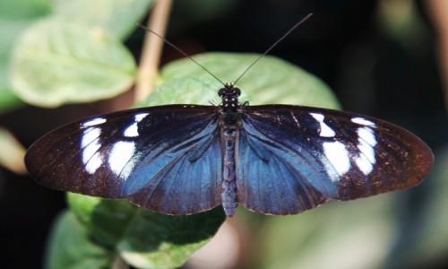 Zdjecie DANIA / Aarhus / Ogród roślin tropikalnych / Heliconius sara