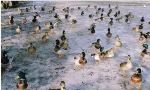 Zdjęcie DANIA / zelandia / slagelse / kaczki