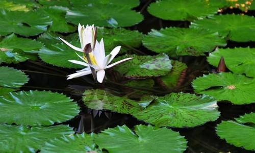 DANIA / Aarhus / Ogród roślin tropikalnych / Lilie wodne