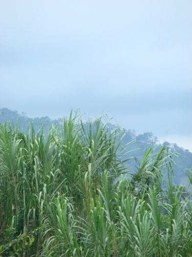 Zdj�cia: okolice La Vega, wszechobecna trzcina cukrowa, DOMINIKANA