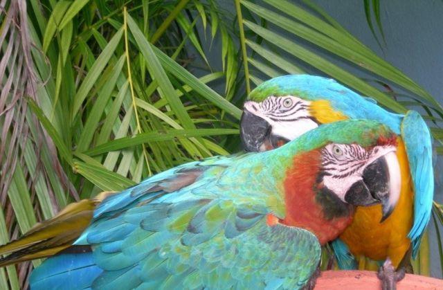 Zdjęcia: Punta Cana, Papugi, DOMINIKANA