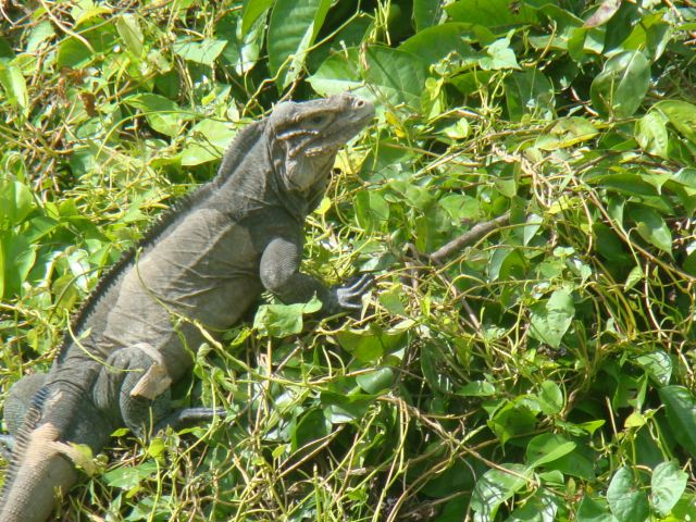 Zdjęcia: rzeka de Chavon, Iguana w buszu, DOMINIKANA