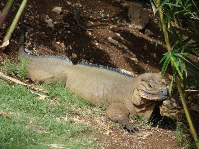 Zdjęcia: kompleks hotelowy, iguana, DOMINIKANA