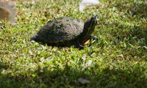 Zdjęcie DOMINIKANA / Bayahibe / Bayahibe / żółw wodny