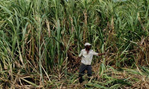 Zdjęcie DOMINIKANA / płn-wsch wyspy / plantacja trzciny / Na plantacji