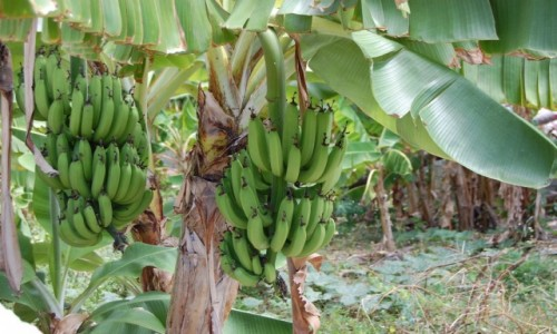 Zdjecie DOMINIKANA / Dominikana / Bavaro / Banany w Bavaro, Dominikana