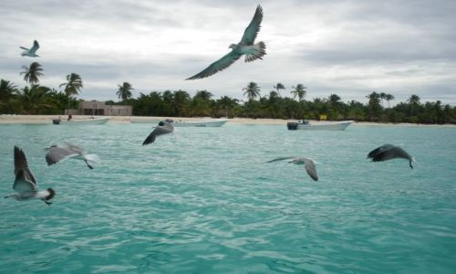 Zdjecie DOMINIKANA / brak / Saona / Mewy na Karaiba