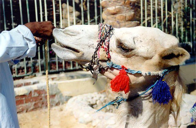 Zdjęcia: Hurghada, Wielbłąd, EGIPT