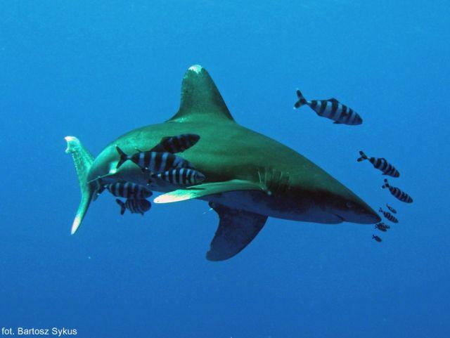 Zdjęcia: Brothers Island, Morze czerwone, White tip oceanic shark, EGIPT